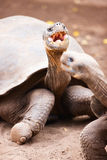 Galapagos giant tortoises Royalty Free Stock Images