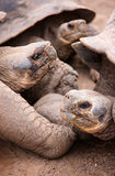 Galapagos giant tortoises Stock Photography