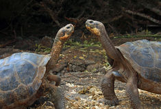 Galapagos Giant Tortoises. Two Galapagos giant tortoises walking towards each other Royalty Free Stock Photo
