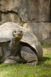 Galapagos Giant Turtle Stock Images