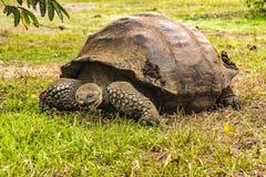 Galapagos Giant Turtle, Ecuador. Famous galapagos giant turtle at nature, Galapagos Island, Ecuador stock photo