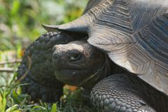 Galapagos gigantycznego tortoise Chelonoidis nigra zdjęcia royalty free