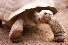 Galapagos gigantyczny tortoise Zdjęcie Royalty Free