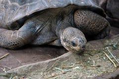 Galapagos gigantyczny tortoise (Chelonoidis nigra) Fotografia Stock