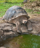 Galapagos Gigantyczny Tortoise szuka wodę obrazy stock