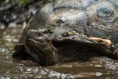Galapagos gigantyczny tortoise wallowing w błotnistym stawie Zdjęcia Royalty Free