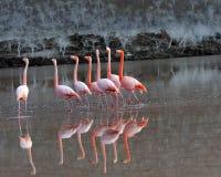 Galapagos-größere Flamingos in fügendem Tanz Stockfotografie