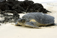 galapagos grön sköldpadda arkivfoton