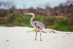 Galapagos Great Blue Heron royalty free stock image