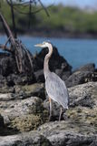Galapagos Great Blue Heron Stock Image