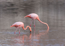Galapagos Greater Flamingos eating Royalty Free Stock Photo