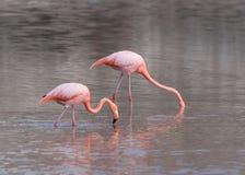 Galapagos Greater Flamingos eating Royalty Free Stock Photo