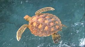 Galapagos Green Sea Turtle. Beautiful Galapagos Green Sea Turtle swims gracefully amongst the mangrove roots in a calm lagoon stock footage
