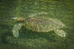 Galapagos green turtle swimming in green river Stock Photo
