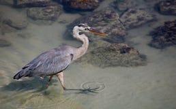 Galapagos-großes Blau-Reiher Lizenzfreie Stockfotografie
