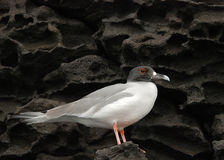 Galapagos Gull on Lava. Galapagos Gull perched on lava cliffs Stock Photo