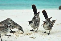 galapagos härmfåglar Royaltyfri Bild
