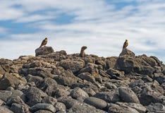 Galapagos hökar som jagar havet Lion Pup, Galapagos royaltyfria bilder