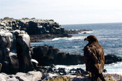 Galapagos Hawk Stock Photos