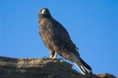 Galapagos Hawk. (Buteo galapagoensis). Vulnerable and endemic to the Galapagos islands. Puerto Egas, James Island, Galapagos, Ecuador stock photo