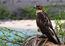 Galapagos Hawk. This Galapagos Hawk tenatively keeps one eye on his surroundings Stock Image