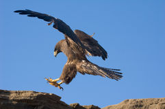Galapagos Hawk. (Buteo galapagoensis) landing on a cliff Royalty Free Stock Photography