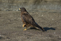 Galapagos Hawk. (Buteo galapagoensis). Vulnerable and endemic to the Galapagos islands Stock Image