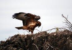 Galapagos Hawk Royalty Free Stock Photo