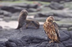 Galapagos Hawk. With baby seal in background Royalty Free Stock Photos