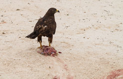 Galapagos Hawk with freshly killed iguana Stock Images