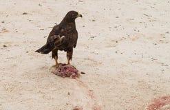 Galapagos Hawk with freshly killed iguana Stock Images