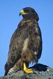 Galapagos hawk, Galapagos Stock Photography