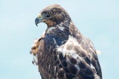 Galapagos Hawk, Galapagos Islands, Ecuador Stock Images