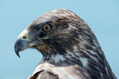 Galapagos Hawk, Galapagos Islands, Ecuador Stock Image