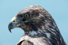 Galapagos Hawk, Galapagos Islands, Ecuador Stock Image