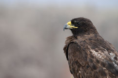 Galapagos Hawk Royalty Free Stock Photos