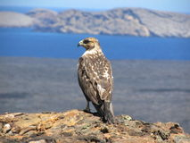 Galapagos hawk Stock Images