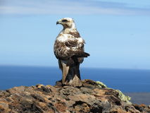 Galapagos hawk Royalty Free Stock Photo