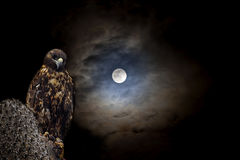 Galapagos Hawk at night Royalty Free Stock Images