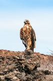 Galapagos Hawk perching on a rock. Royalty Free Stock Image