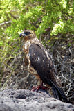 Galapagos Hawk on Santa Fe Royalty Free Stock Photography