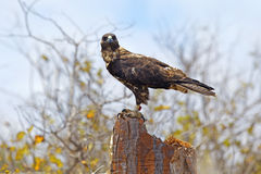 Galapagos Hawk on Santa Fe Stock Photo