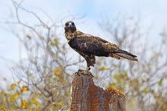 Galapagos Hawk on Santa Fe Stock Photo