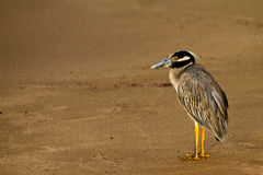 Galapagos Heron. On the beach in the Galapagos Islands royalty free stock photo