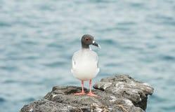 Galapagos Hirondelle-a coupé la queue la mouette sur une falaise rocheuse à l'île du sud de plaza Image stock