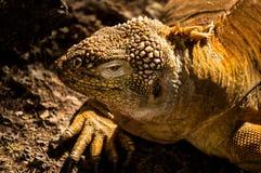 Galapagos iguana εδάφους στοκ φωτογραφίες