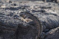 Galapagos iguana που σκαρφαλώνει στους γκρίζους βράχους λάβας Στοκ Φωτογραφία