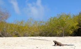 Galapagos iguana στην παραλία Στοκ εικόνα με δικαίωμα ελεύθερης χρήσης