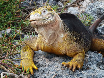 Galapagos Iguana. Black yellow Galapagos Iguana on rock royalty free stock image