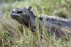 Galapagos Iguana Stock Photography